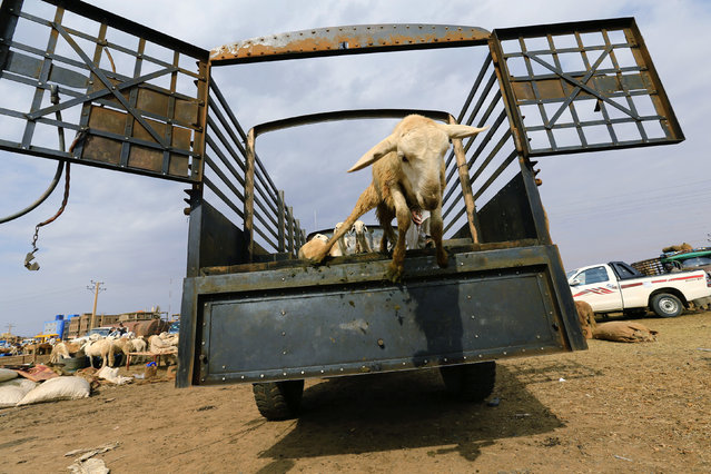 A man unloads sheep from a truck during preparations ahead of the Eid al-Adha festival in Khartoum September 11, 2016. (Photo by Mohamed Nureldin Abdallah/Reuters)