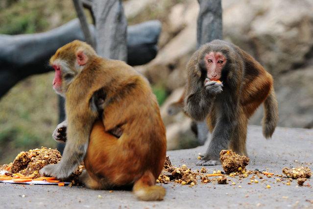 Monkeys enjoy moon-cakes in Qingdao, China on September 14, 2016. (Photo by Yu Fangping/ZUMA Press/Splash News)