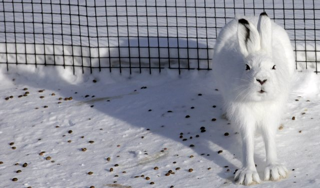 Tundra hare sits in an open-air enclosure at the Royev Ruchey zoo on the suburbs of Krasnoyarsk, February 21, 2013. (Photo by Ilya Naymushin/Reuters)