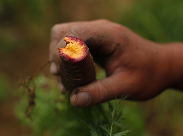 Makoto Chino eats a purple haze carrot as he works harvesting the morning's vegetables and fruit from his family's farm in Rancho Santa Fe, California August 12, 2014. (Photo by Mike Blake/Reuters)