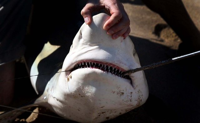 Researchers remove the hook from the shark's mouth. (Photo by Lannis Waters/Palm Beach Daily News)