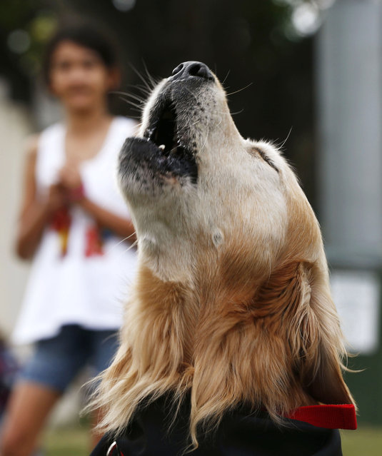 Charlie, a golden retriever with the world loudest bark according to Guinness World Record, barks at the Royal Easter Show in Sydney March 29, 2013. Charlie owns the Guinness World Record for the loudest bark, registering at 113.1 decibels. (Photo by Daniel Munoz/Reuters)