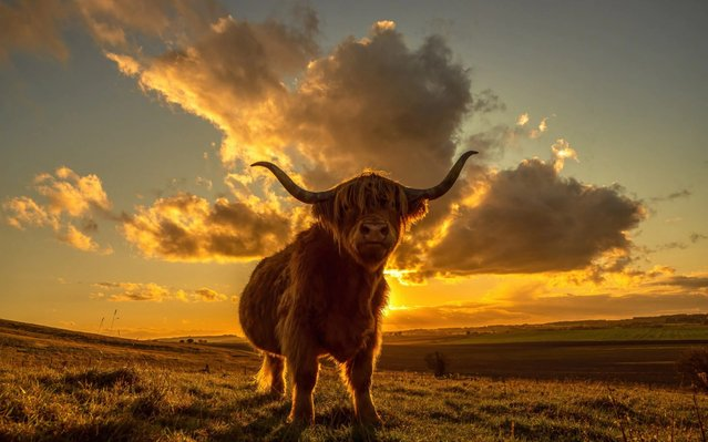 A Highland Cow at sunset on the edge of the Marlborough Downs, Wiltshire, United Kingdom on October 18, 2020. (Photo by David White/PictureExclusive)