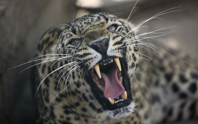 Leopard roars inside his enclosure at the wildlife park in Jammu, India, on April 18, 2013. (Photo by Channi Anand/AP Photo)