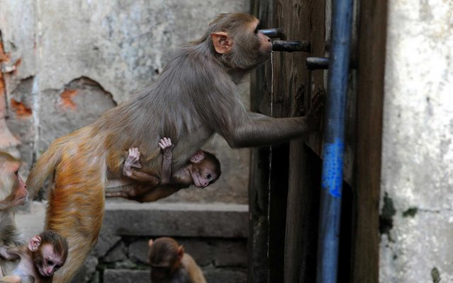 A monkey drank water from a tap in the northern Indian city of Allahabad, Uttar Pradesh, on May 22, 2013. (Photo by Sanjay Kanojia/AFP Photo)