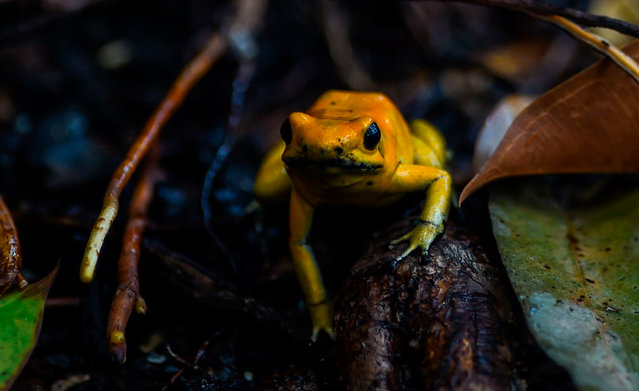 """A golden poison frog (Phyllobates terribilis) is pictured at the Santa Fe zoo, in Medellin, Antioquia Department, Colombia, on March 21, 2018. The Intergovernmental Science- Policy Platform on Biodiversity and Ecosystem Services (IPBES) meeting, which is taking place in Medellin, opened on March 17 by stating that protecting biodiversity is """"as important as fighting climate change"""". (Photo by Joaquin Sarmiento/AFP Photo)"""