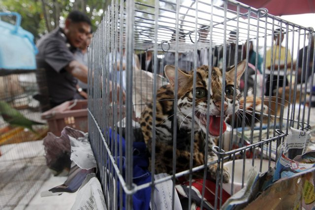 A police officer stands among caged animals during a raid on the outskirts of Bangkok June 10, 2013. Thai police said they confiscated more than a thousand wildlife animals on Monday and will investigate to verify their origin. Almost 1,000 sugar gliders, 14 white lions, 12 peacocks, 17 marmosets and many other wild animals were found in cages in the suburbs of Bangkok. (Photo by Kerek Wongsa/Reuters)