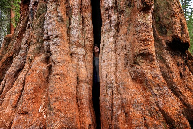 """""""In the Heart of the Giant Sequoia"""". On my first trip to Sequoia National Park, I was blown away by the enormity of these massive trees. To illustrate their size, I took this self portrait from inside a cracked tree, which gives a sense of their scale. (Photo and caption by Max Seigal/National Geographic Traveler Photo Contest)"""
