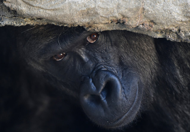 Cenzoo, a silverback gorilla, peers from an overhang in his enclosure at The Birmingham Zoo, Tuesday, January 27, 2015, in Birmingham, Ala. Cenzoo is the only silverback gorilla at the zoo and will soon have a new home in Riverbanks Zoo and Garden in Columbia, South Carolina. (Photo by Frank Couch/AP Photo/AL.com)