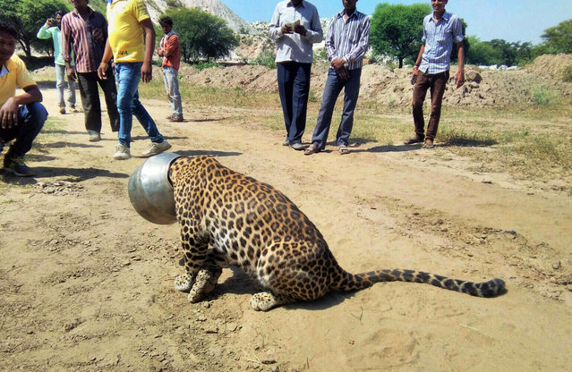 People stand around a leopard with its head stuck in a vessel in Rajsamand district of Rajasthan state, India, Wednesday, September 30, 2015. The leopard's head got stuck when it attempted to drink water from the pot, according to news reports. Forest officials tranquilized the animal and sawed off the vessel later in the day. (Photo by Kabir Jethi/AP Photo)