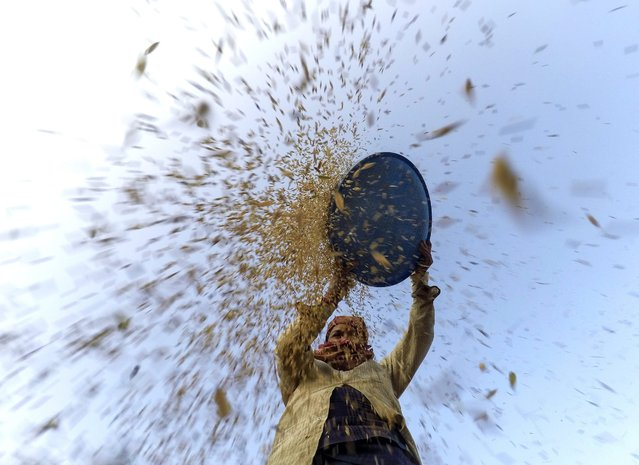 A Nepalese harvester works during the harvesting in a field of Dharmasthali village, on the outskirts of Kathmandu, Nepal, 20 October 2016. For Nepal, a landlocked country, agriculture remains an important economic activity, with wheat and rice being the main food crops. (Photo by Narendra Shrestha/EPA)
