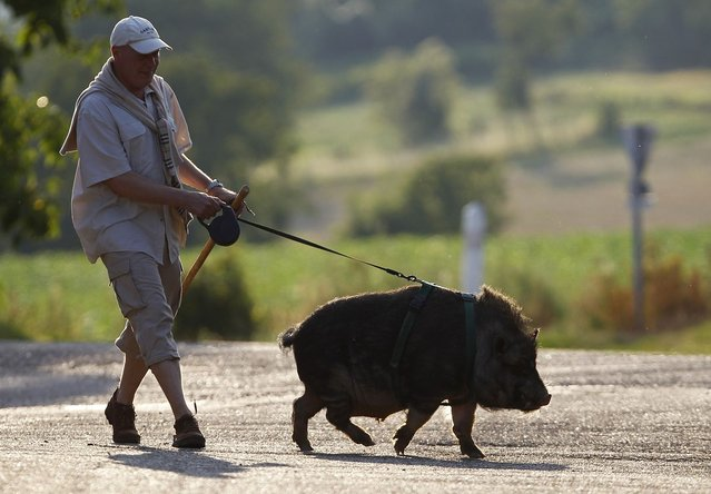 Christophe Lutz walks Marcel, a 30 month-old pig-wild boar crossbreed in the small village of Kolbsheim near Strasbourg, France on August 10, 2012. Marcel, an offspring of a sow and a wild boar, was raised by Christophe and his wife Chloe when he was 3 months-old, and neglected by its mother. (Photo by Vincent Kessler/Reuters)