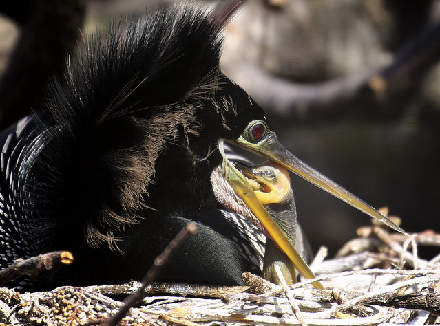 An infant anhinga reaches inside an adult bird's mouth to feed, Tuesday, February 10, 2015, at the Wakodahatchee Wetlands in Delray Beach, Fla. It is nesting season for migrant birds. (Photo by J. Pat Carter/AP Photo)