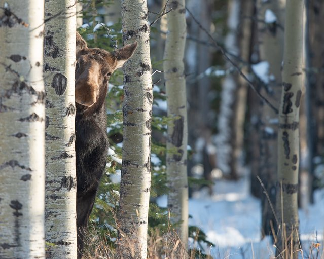 A female moose peers from behind a tree, September 2018. (Photo by Jamie Bussey/Barcroft Images/Comedy Wildlife Photography Awards)