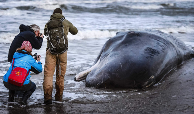 People take pictures of a sperm-whale on the island of Texel, The Netherlands, 13 January 2016. (Photo by Remko De Waal/EPA)