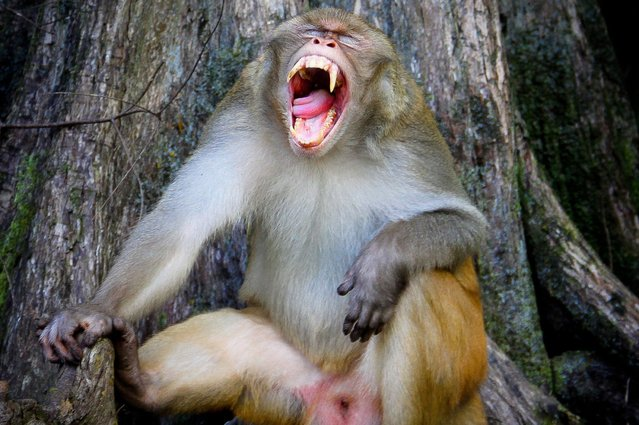 """An alpha male called King Phillip or snaggle tooth because of his right fang hanging over his lower lip, is seen demonstrating a """"threat call"""" along the shoreline of the Silver River, on October 3, 2013. (Photo by Ocala Star-Banner/Landov/Barcroft Media)"""