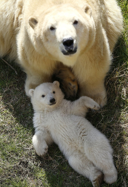 A polar bear cub, born on November 26, 2014, and its mother Flocke spend time outdoors on March 9, 2015 at the Marineland animal exhibition park in the French Riviera city of Antibes.        AFP PHOTO / VALERY HACHE        (Photo credit should read VALERY HACHE/AFP/Getty Images)