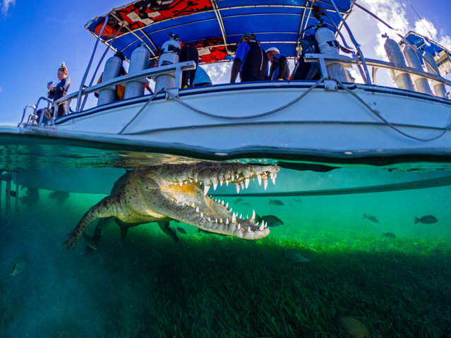 British holidaymaker Sean Chinn captures a crocodile on camera during a dive at the Jardines de la Reina marine park in Caribbean Sea, Cuba. (Photo by Sean Chinn/Caters News Agency)