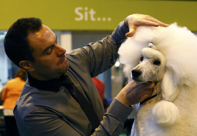 A man grooms a Standard Poodle during the first day of the Crufts Dog Show in Birmingham, Britain March 10, 2016. (Photo by Darren Staples/Reuters)