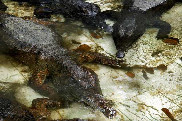 West African Slender-snouted Crocodiles are pictured in the water of their enclosure at the zoo of Abidjan, Ivory Coast October 28, 2016. (Photo by Luc Gnago/Reuters)