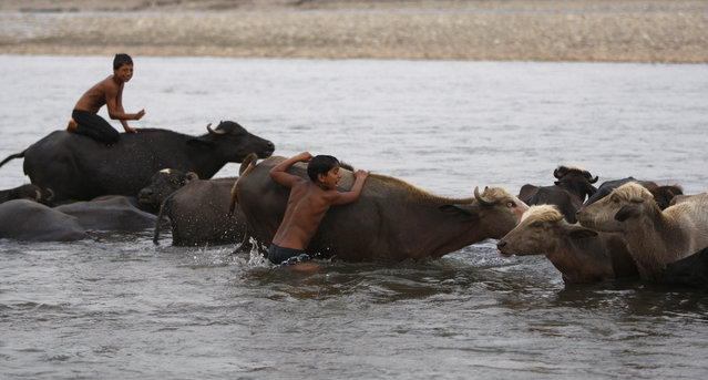 Indian boys ride buffaloes in the River Tawi on a hot summer day in Jammu, India, Saturday, May 9, 2015. Temperature in the city is slowly rising with a maximum of 37 degrees Celsius recorded on Saturday. (Photo by Channi Anand/AP Photo)