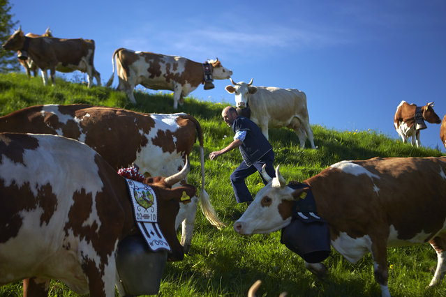 2. SWITZERLAND: Cheese maker and farmer Jacques Murith gathers his cows prior to their departure for the Proveta pasture on the first day of the season in Gruyeres, western Switzerland, May 8, 2013. (Photo by Denis Balibouse/Reuters)