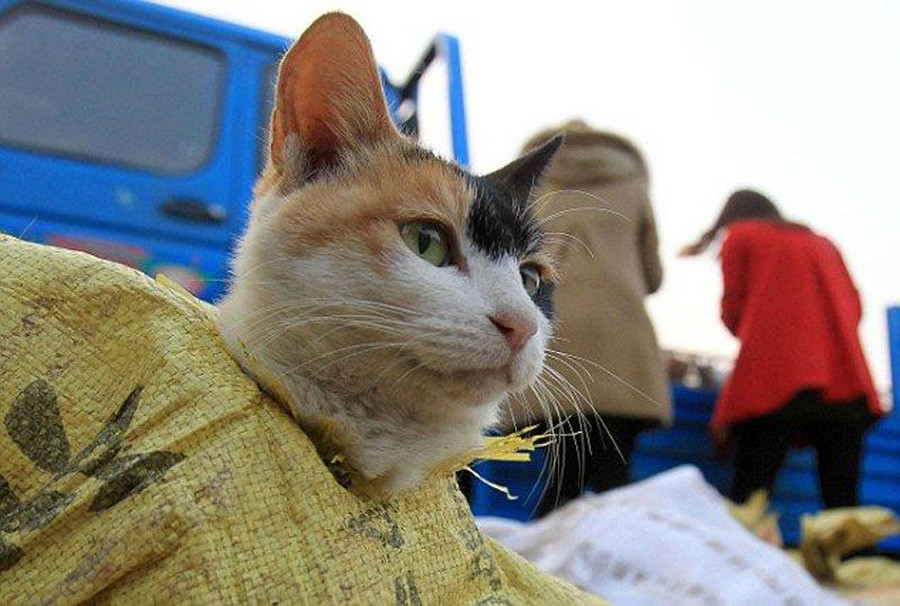 Chinese Cats Saved from the Cooking Pot