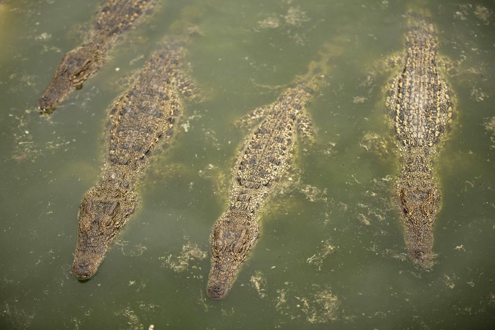 Cuban Crocodiles in Zapata Swamp National Park