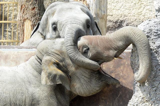 Elephants in their enclosure in the Kaeng Krachan Elephant Park of the Zuerich Zoo in Zuerich, Switzerland, 17 June 2015. (Photo by Walter Bieri/EPA)