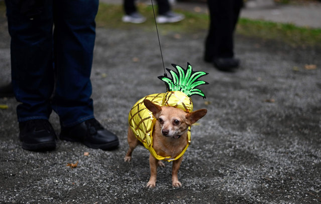 A dog dressed in a pig costume attends the Tompkins Square Halloween Dog Parade in Manhattan in New York City on October 20, 2019. (Photo by Johannes Eisele/AFP Photo)