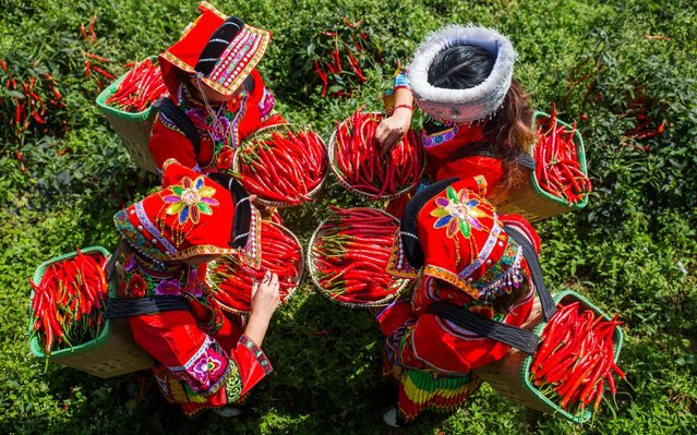 This photo taken on October 7, 2019 shows villagers harvesting chilli peppers at a cooperative which produces both fresh peppers and dried chilli powder in Yangchang town, Dafang county, Bijie in China's southwest Guizhou Province. (Photo by Costfoto/Barcroft Media)