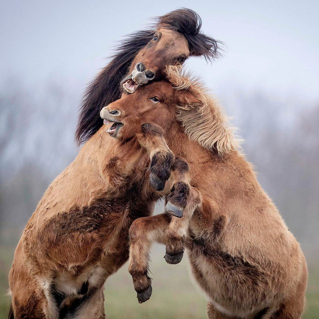 Two Iceland stallions play in a paddock of a stud in Wehrheim near Frankfurt, Germany, Friday, November 22, 2019. (Photo by Michael Probst/AP Photo)