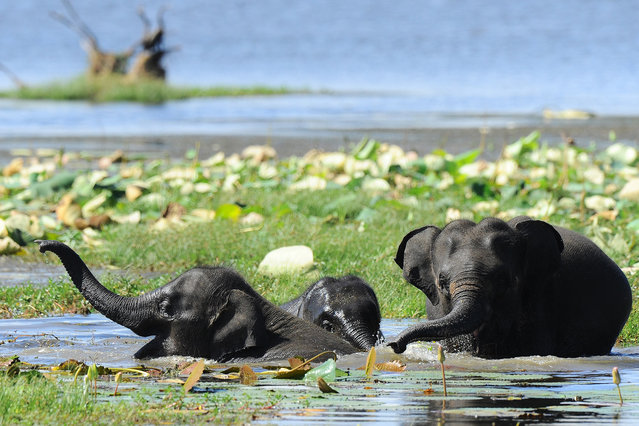 SLankan elephants bathe in a lake at the Yala National Park in the southern district of Yala some 250kms southwest of Colombo on July 24, 2015. The Yala National Park is the most visited and second largest national park in Sri Lanka. (Photo by Ishara S.Kodikara/AFP Photo)