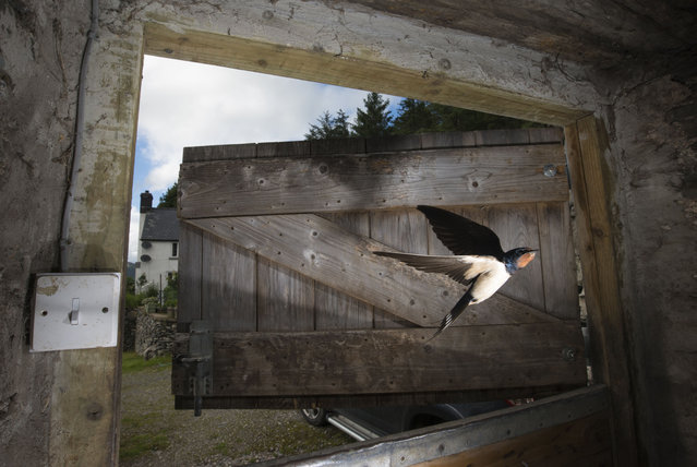 A barn swallow flies in through a stable door near Corwen, Wales, UK on July 7, 2016. (Photo by Richard Bowler/Rex Features/Shutterstock)
