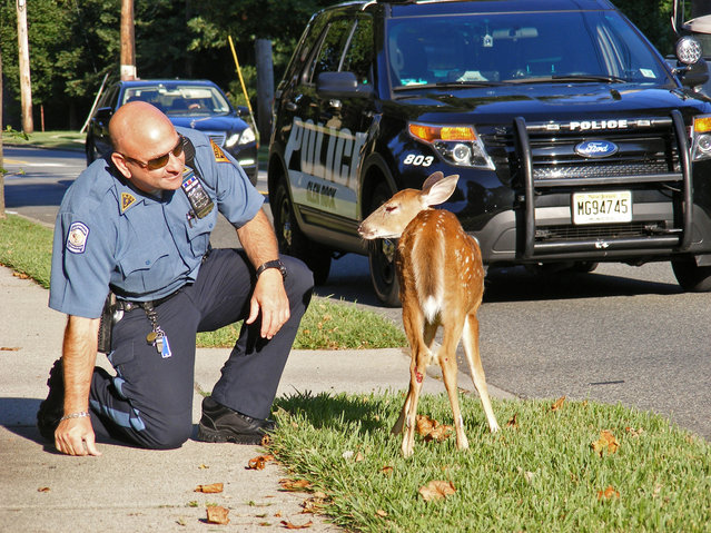 An injured deer slowed rush hour traffic on Grove Street in Ridgewood, NJ.,  Monday, August 18, 2014.  Ridgewood Police Department Patrol Officer Paul Dinice responded to the scene and attempted to restrain the deer until animal control personnel arrived, but the deer broke free and dashed back into a nearby wooded area.  (Photo by Boyd A. Loving/AP Photo/The Record of Bergen County)