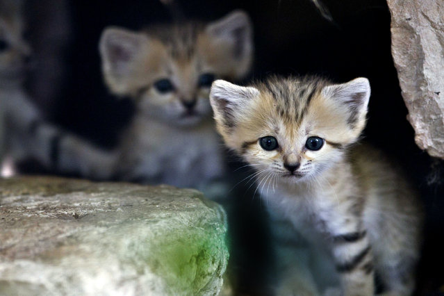 A sand kitten sits at her enclosure at the Ramat Gan Safari near Tel Aviv August 14, 2012. Four sand kittens, considered extinct in Israel, were born 3 weeks ago at the safari park, an open-air zoo, a statement from the safari said. (Photo by Nir Elias/Reuters)