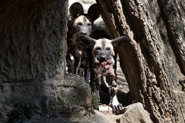 Young African wild dogs also called Lycaon pictus, are pictured on August 25, 2014 at the Bioparco of Rome (Rome's zoo). Zampa and Sax were born in May at the Bioparco and fed by their parents, a young couple of wild dogs, before their presentation to the public, few days ago. (Photo by Tiziana Fabi/AFP Photo)