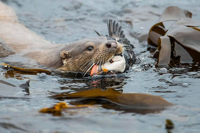 """Otter and Puffin"". Behaviour category winner. (Photo by Richard Shucksmith/British Wildlife Photography Awards 2014)"
