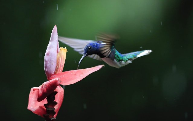 A hummingbird is seen in the Guapiles area, east of San Jose, Costa Rica, 07 May 2020. This Saturday the international day of migratory birds is celebrated. (Photo by Jeffrey Arguedas/EPA/EFE)