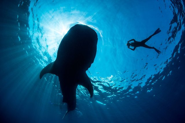 A snorkeller photographing a whale shark as it feeds, Yucatan Peninsular, Mexico. (Photo by Alexander Mustard/Wildscreen Photography Festival 2014)