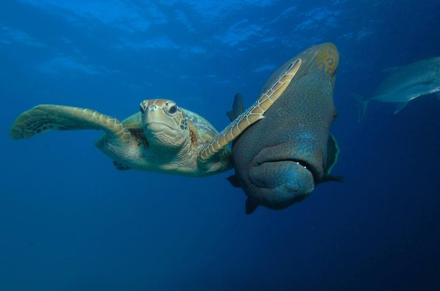 A Green Turtle vs a Napoleon Maori Wrasse. (Photo by Troy Mayne/Comedy Wildlife Photography Awards/Barcroft Media)