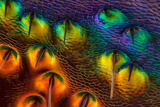 Chrysochroa buqueti (jewel beetle) carapace, near eye Diffused, Reflected Illumination, 450X. Issaquah, Washington, USA. (Photo by Charles Krebs/Nikon Small World 2014)