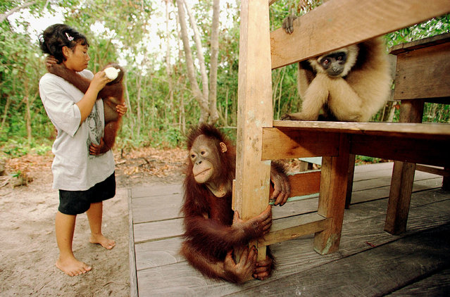 An orphaned orangutan gets fed milk from a baby bottle by a volunteer September 1, 2001 near Camp II at the Tanjung Puting National Park in Kalimantan on the island of Borneo, Indonesia. (Photo by Paula Bronstein/Getty Images)