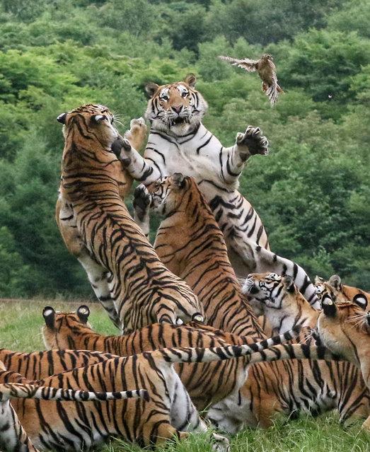 Siberian tigers feed at the China Hengdaohezi Feline Breeding Center on July 29, 2020 in Mudanjiang, Heilongjiang Province of China. (Photo by VCG/VCG via Getty Images)