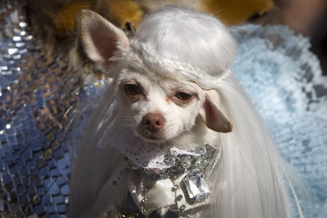 A dog poses for a photo dressed as Daenerys Targaryen from Game of Thrones during the 24th Annual Tompkins Square Halloween Dog Parade in New York October 25, 2014. (Photo by Carlo Allegri/Reuters)