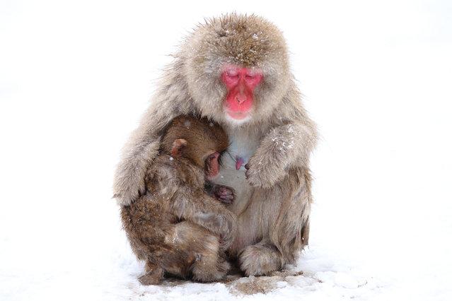 "Lovely Mother and Baby. Snow monkey at ""Jigokudani hot-spring"" in Nagano, Japan. (Kiyoshi Ookawa)"