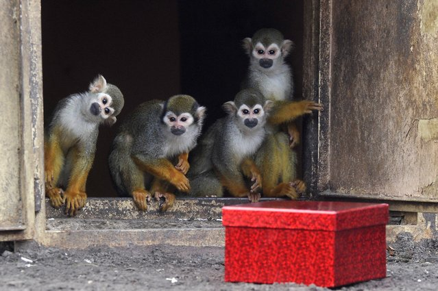 Common squirrel monkeys observe their Christmas present, a box full of mealworms, at the South America enclosure of the Budapest Zoo, in Budapest, Hungary, 24 December 2017. (Photo by Photo by Attila Kovacs/EPA/EFE/Rex Features/Shutterstock)
