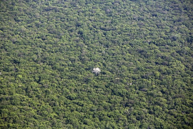 An aerial view shows a tree with white branches in the Amazon rainforest in Mato Grosso state, western Brazil, October 2, 2015. (Photo by Paulo Whitaker/Reuters)