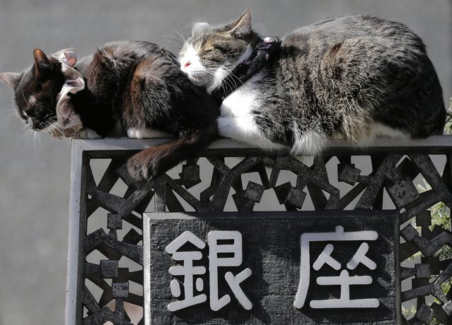 Cats sleep on a street sign in Tokyo's Ginza shopping district on February 18, 2013. (Photo by Itsuo Inouye/AP Photo)