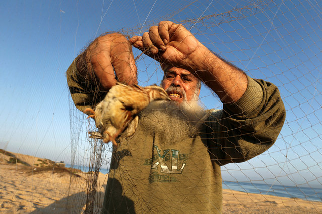 A man takes out a quail from a net after catching it on a beach in Khan Younis, in the southern Gaza Strip September 20, 2016. (Photo by Ibraheem Abu Mustafa/Reuters)